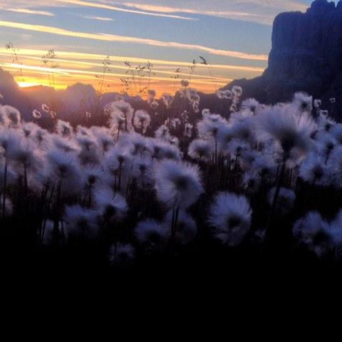 Wollgras Dolomiten (c) Luisa Deubzer.jpg. Vergrösserte Ansicht