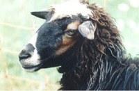 Bovska-Schaf