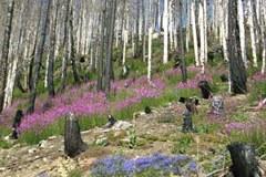 Waldbrand erhöht Biodiversität: das wahre Naturspektakel ist die Regenerationskraft nach der Brandkatastrophe.