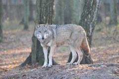 Ein kleiner Schritt für einen Wolf, ein grosser für die Alpenpopulation: Der Wolf ist nach Bayern zurückgekehrt.