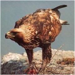 L'aigle royal (Aquila chrysaetos)