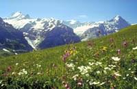 Blumenwiese im Berner Oberland.
