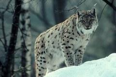 Selon le WWF, le lynx n'est qu'à quelques enjambées de l'espace alpin allemand.