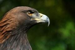Portrait d'un aigle royal