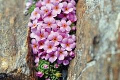 Androsace alpina - androsace des Alpes