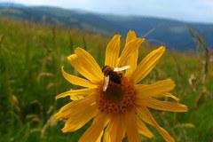 ARNICA : le nom de la plante de montagne est l'acronyme d'un projet soutenu par CIRCLE Mountain sur les conséquences du changement climatique dans les régions de montagnes.