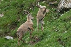 Disparition prochaine de leurs compagnons de jeu : les jeunes bouquetins des Alpes du Parc national du Grand Paradis/I meurent pour des raisons inconnues.