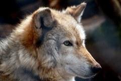 En Suisse, le loup est strictement protégé. Mais pour combien de temps encore ?