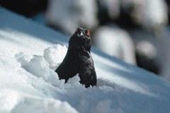 Le tétras lyre survit à l'hiver en s'enfouissant dans la poudreuse. Fuir devant un skieur lui fait consommer une énergie précieuse.