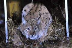 Introduction d'un lynx