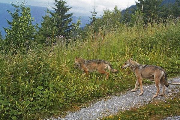 Symbole de la nature ou de la cruauté ? Le retour du loup dans les Alpes suscite l'émotion. © Amt für Natur, Jagd und Fischerei