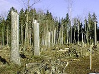Baumstrünke nach Föhnsturm