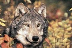 In Francia i lupi non sono più compresi nella lista delle specie minacciate.