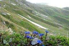 Le piante dei Pirenei e delle Alpi orientali sono le più minacciate dai cambiamenti climatici.