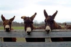 Boom del turismo dolce con i muli.