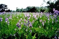Iriswiese