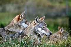 Park Primorskih Alp: ali je sožitje volka in ljudi možno?